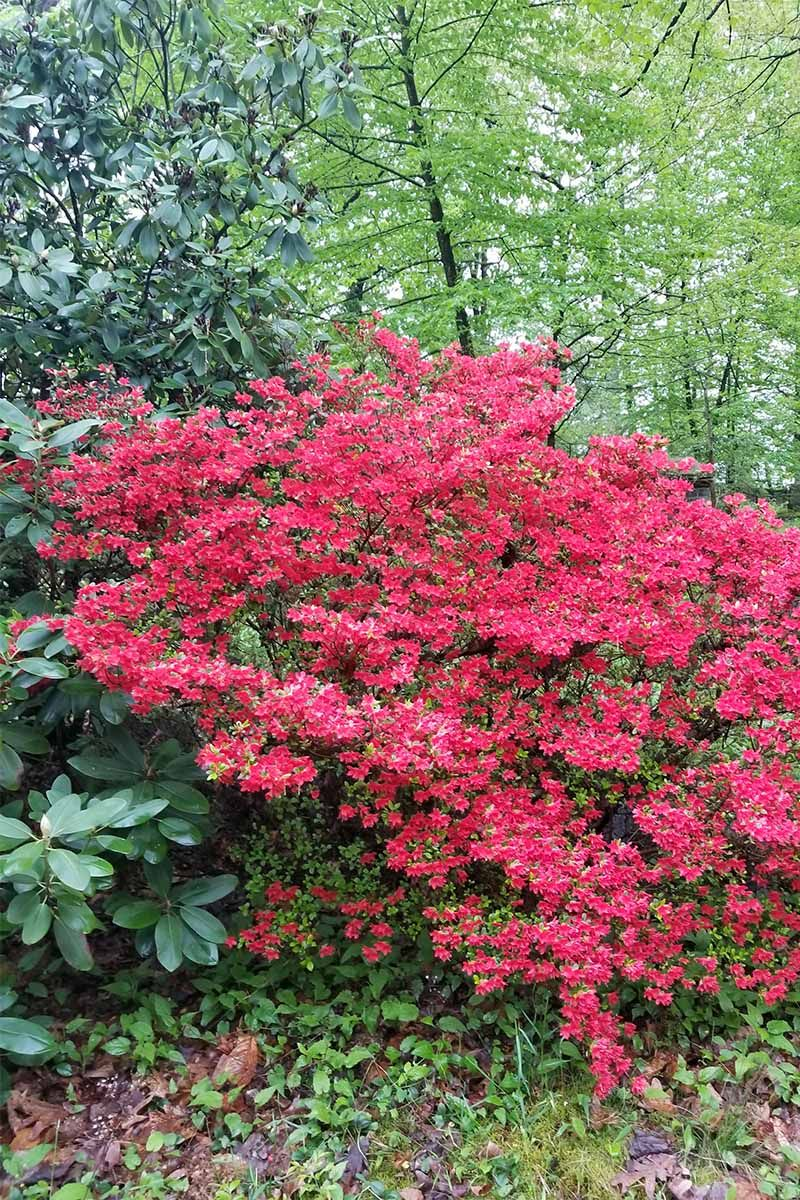 How To Grow And Propagate Azalea And Rhododendron Flowers And