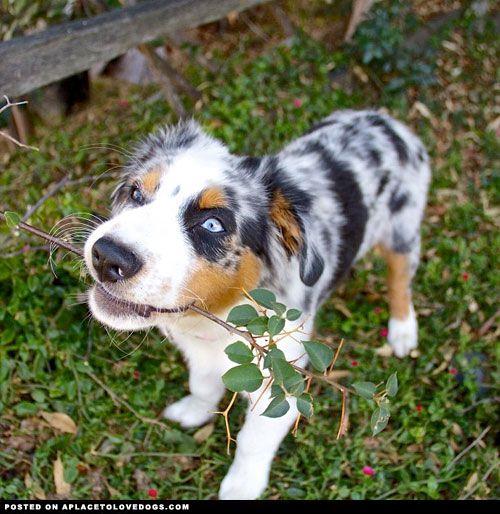 1 Tumblr Australian Shepherd Aussie Dogs Raining Cats And Dogs