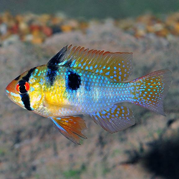 Tropical Freshwater Aquarium Fish Ram Freshwater Aquarium Fish Tropical Fish Aquarium Freshwater Aquarium
