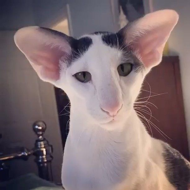 From Hobbikats Teddy Is An Extremely Devoted Oriental Shorthair