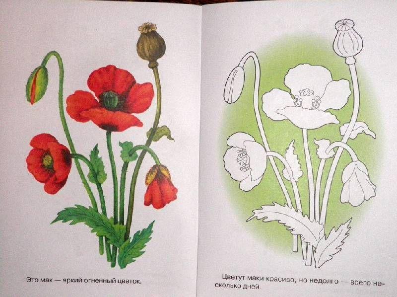 Иллюстрация 3 из 6 для Раскраска. Лесные и полевые цветы ...