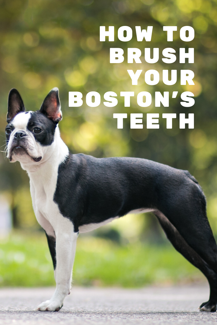 How To Brush Your Boston Terrier S Teeth Your Guide In 2020 Boston Terrier Boston Terrier Owner Terrier