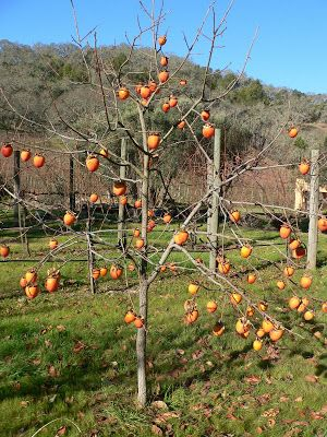 Tickety Boo Health Coaching Quick Seasonal Persimmon Smoothie Fuyu Persimmon Tree Apple Tree From Seed Chestnut Trees