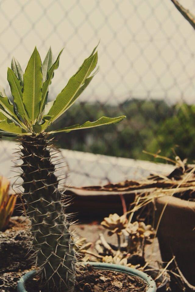 Palma de Madagascar
