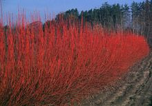 Red Twig Dogwood This Is What It Looks Like In Winter It Has A