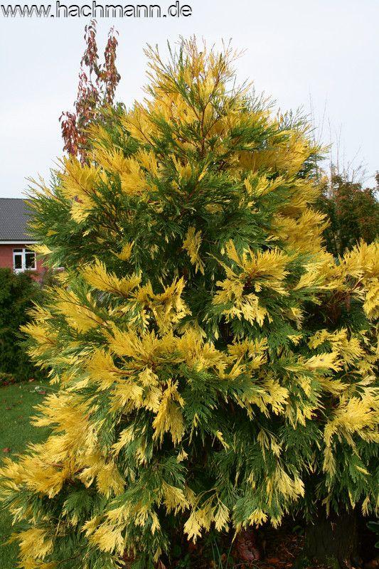 Calocedrus decurrens 'Aureovariegata' | Cool Conifers ...