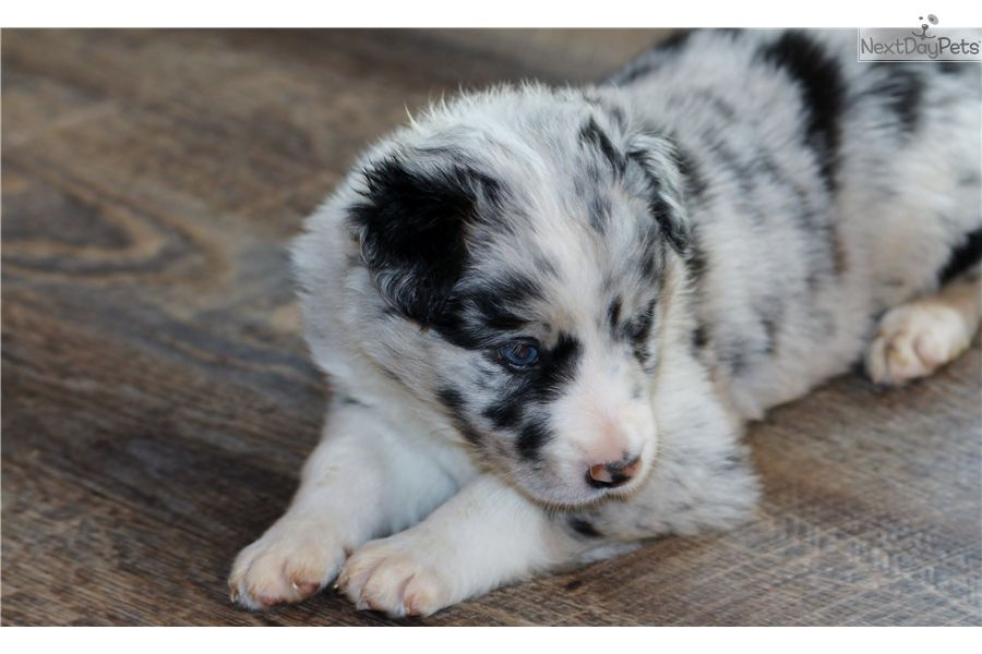 Border Collie Puppy For Sale Near Kansas City Missouri 6baea66a
