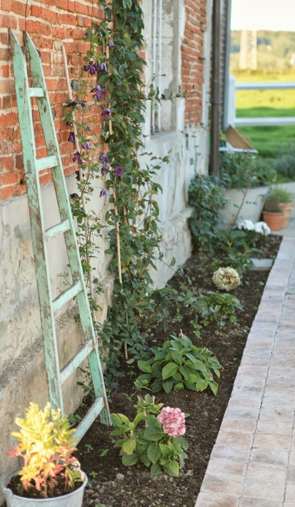 French Larkspur flower bed with clematis old