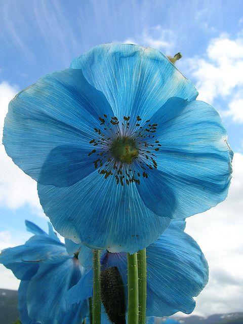 Blauwe klaproos,wil er ook zo in mijn tuin