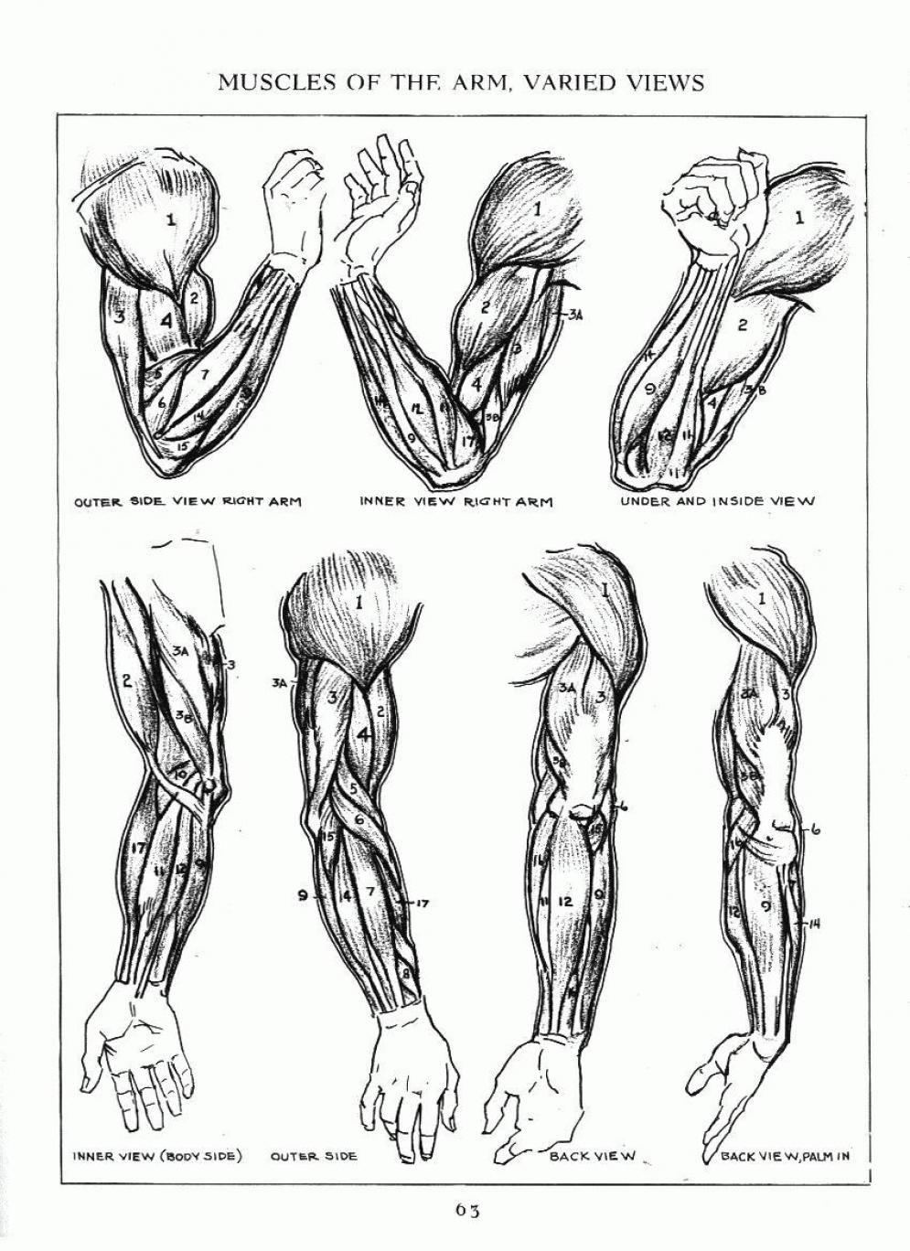 Andrew Loomis Musculatura