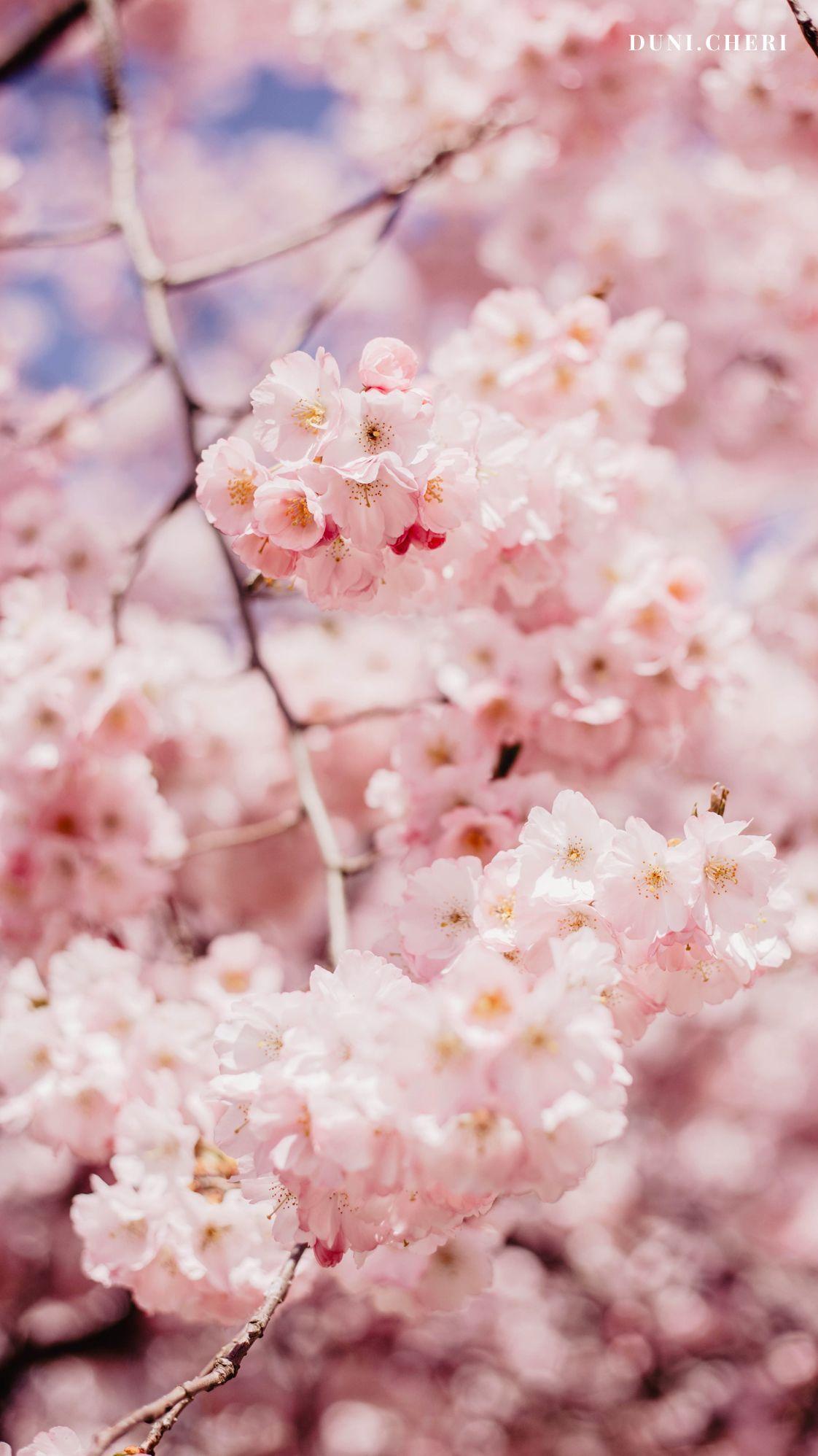 Kirschbluten Wallpaper Free Cherry Blossom Wallpaper Flower Phone Wallpaper Flowers Photography