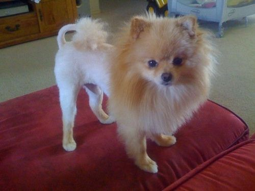 Teddy with the infamous Lion haircut by xelishacopeland, via Flickr