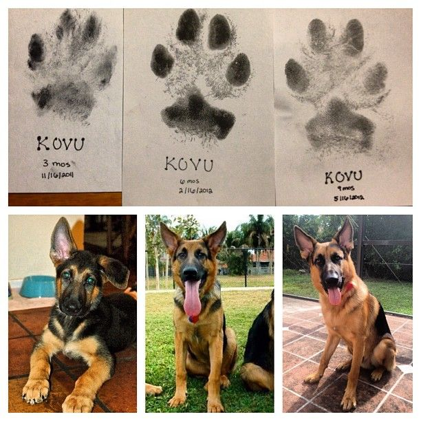 Paw Prints To Record Your Gsd S Growth Puppy Paws Puppy Paw