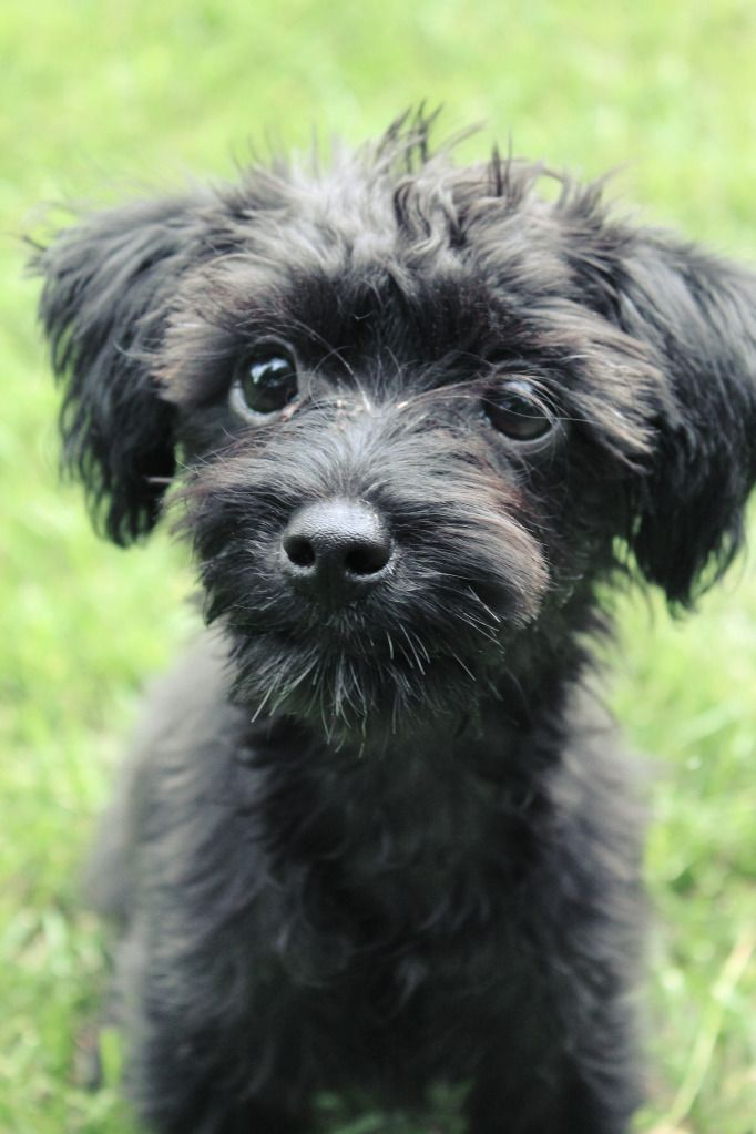 Yorkie poo! Ideally I want mostly yorkie features, with