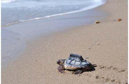 El CSIC suelta 12 tortugas boba en una playa andaluza