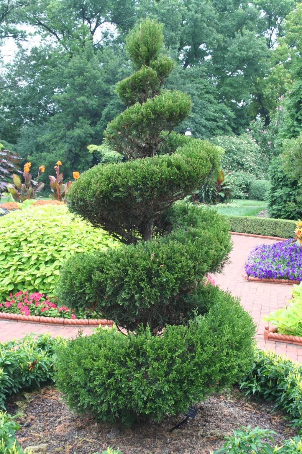 spiral juniper outdoor topiary
