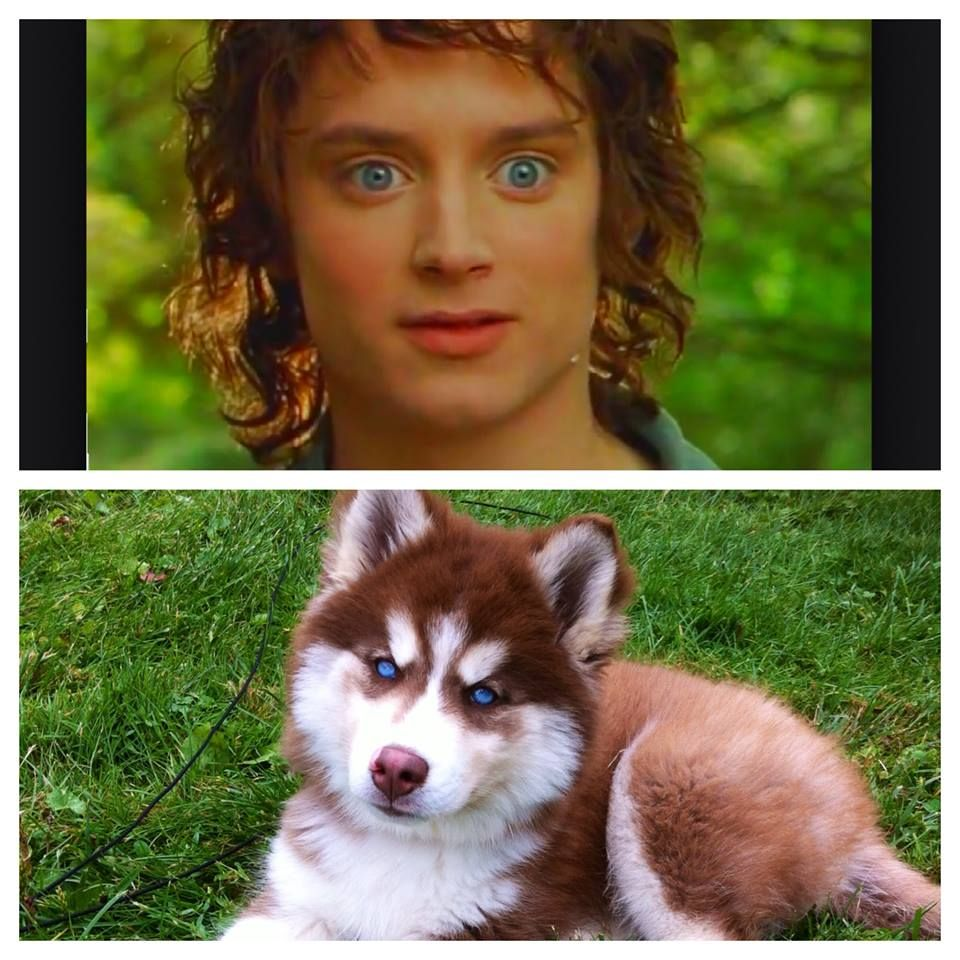 Frodo eyes, husky