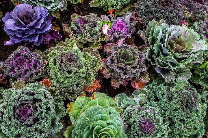 Kale in 2020 | Kale plant, Garden companion planting ... Companion Planting Kale