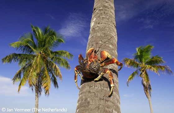 Coconut crab going up - Jan Vermeer - Wildlife Photographer of the Year 2006 : Animals in their Environment - Winner