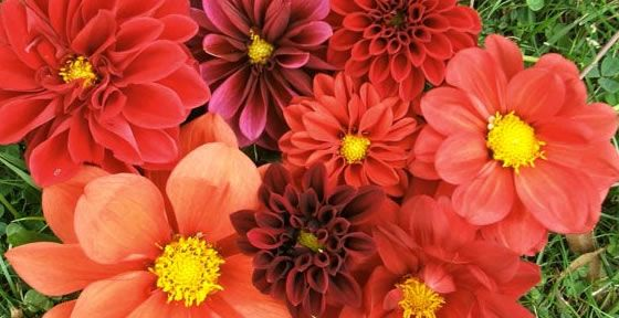 Love this mix of coral dahlias!