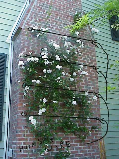 Galvanized Wire Supports Between Eye Bolts To Support Climbing Rose On Brick Wall