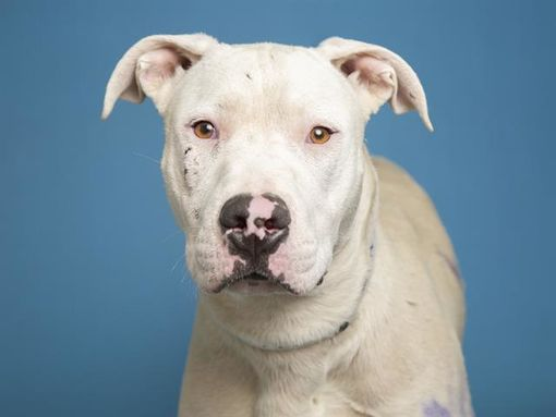 Phoenix Az American Bulldog Meet Deacon A Pet For Adoption
