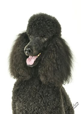 Beemer Poodle Puppies For Sale Poodle Puppy Standard Black