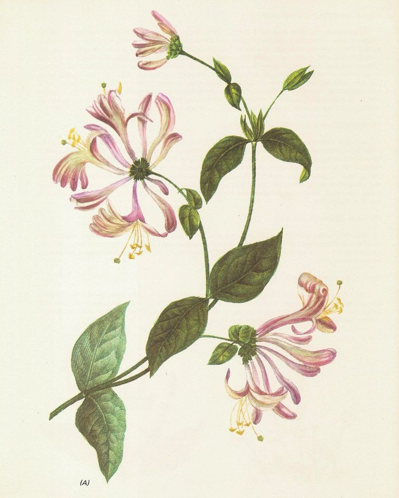 Vintage Lonicera Google Zoeken Yes Pinterest Tattoos