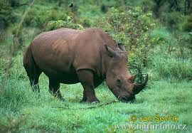 rhinocerous images - Google Search