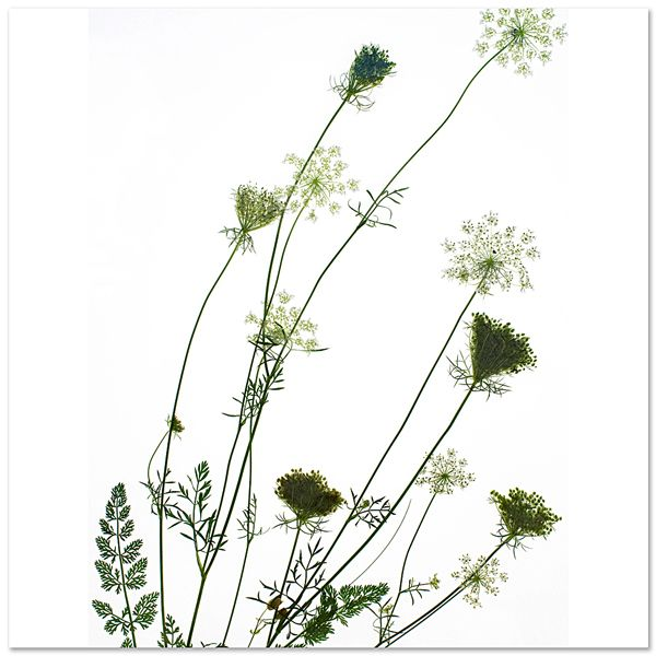 Queen Anne's Lace, Leland, MI., Photobotanicus series by photographer Barry Rosenthal