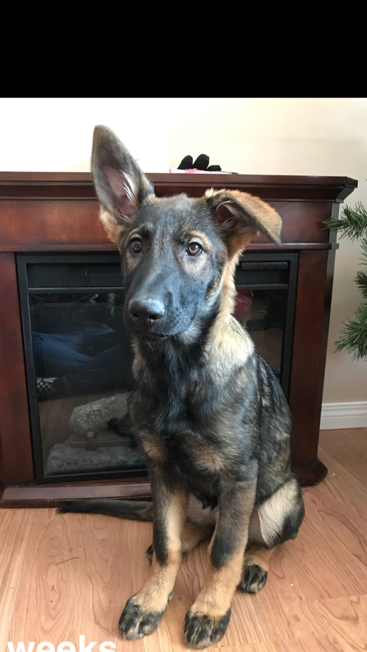 This Is One Absolutely Beautiful Baby German Shepherd Puppy