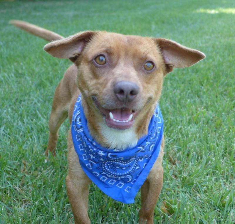 Adopt Hobo On Adoptable Dachshund Dog Dogs Dog Cat