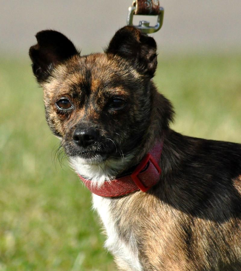 Adopt Elsa on (With images) Chihuahua mix, Adoption
