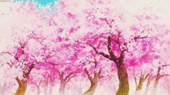 Japanese Cherry Blossoms Sakura Sakura Tree Cherry Blooms Sakura