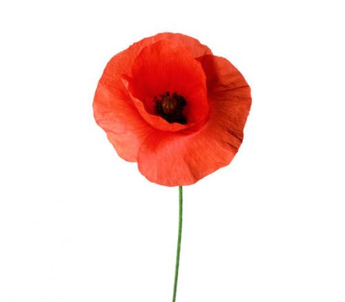 The Poppy As Symbol Of Sleep And Deathmorpheus The Greek God Of