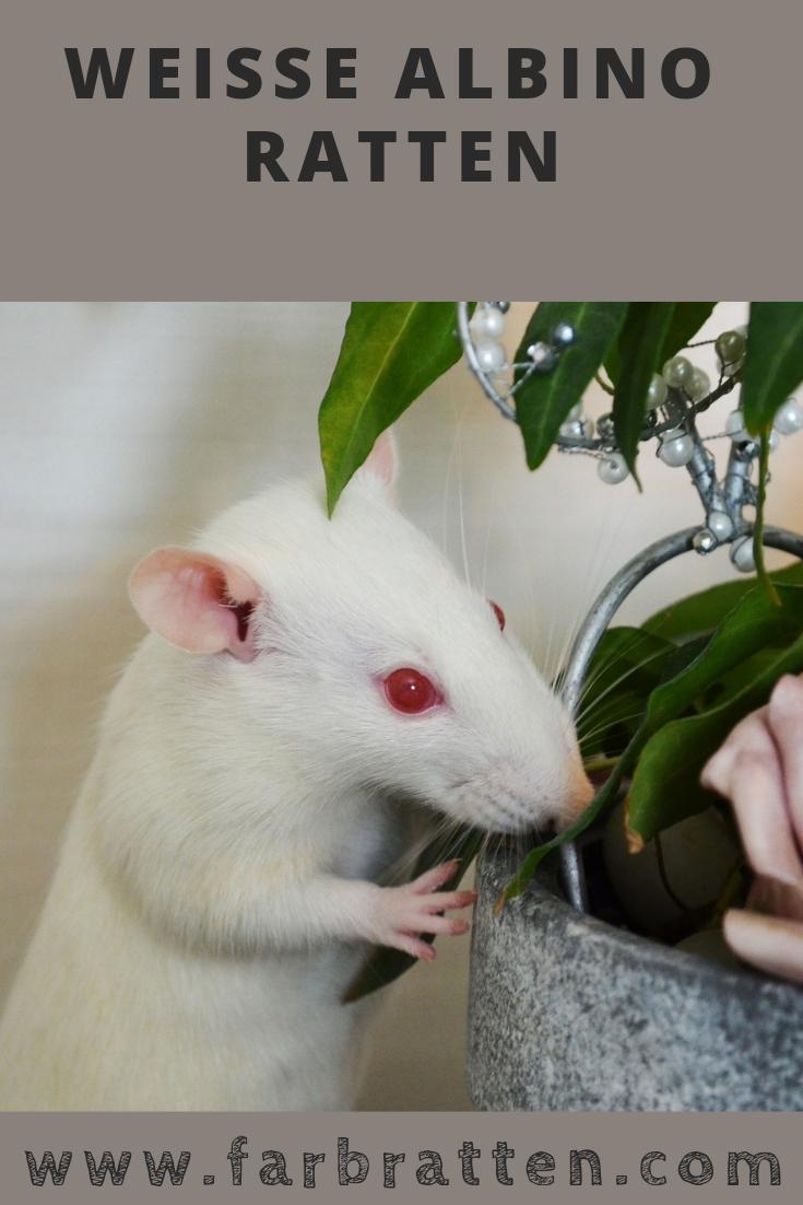 Albino Ratten 🐭 Haben zu Unrecht einen schlechten Ruf
