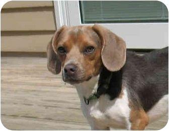 Sparta Nj Beagle Mix Meet Maverick A Dog For Adoption Beagle Mix Pets