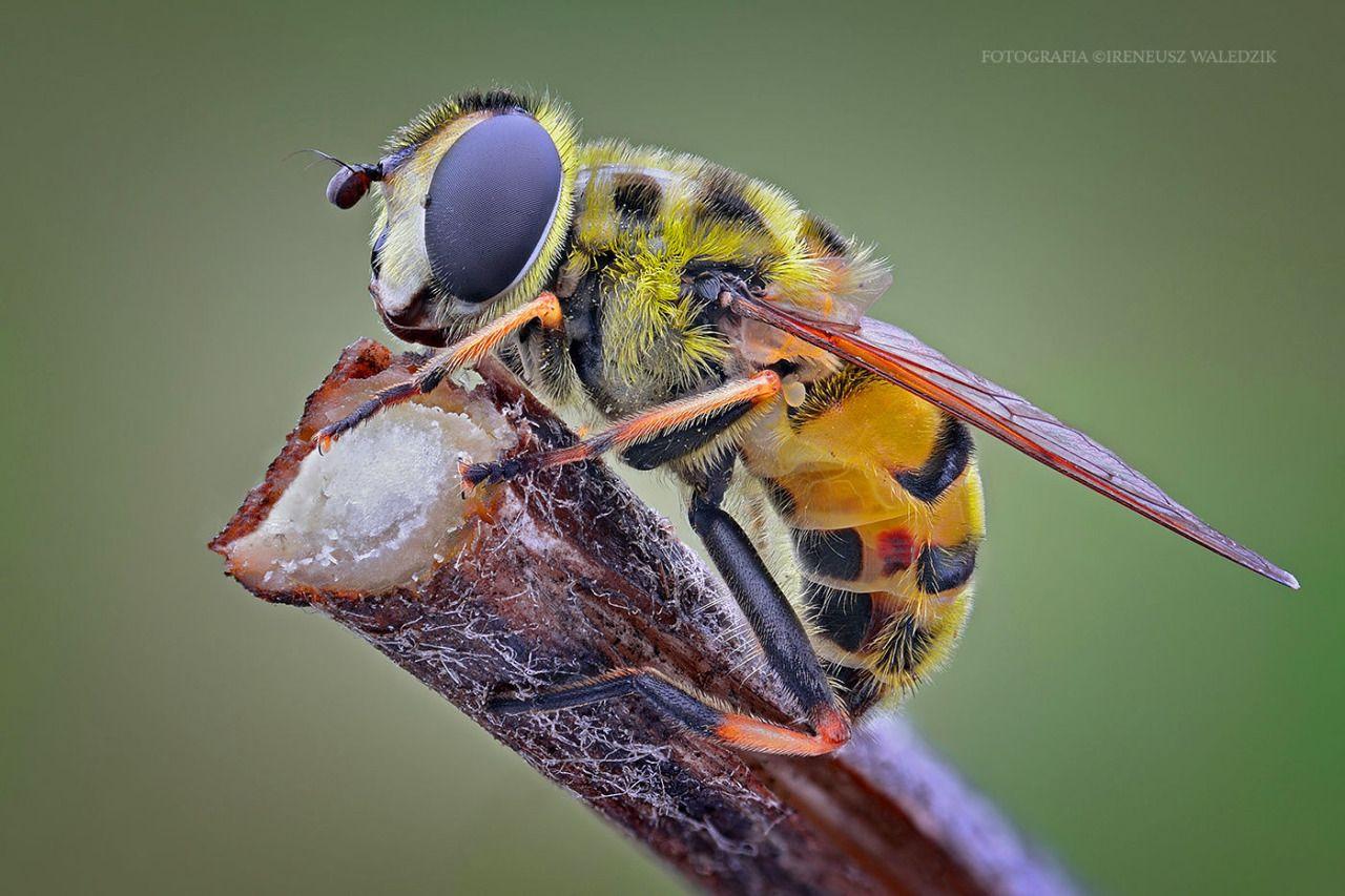 macro   Myathropa florea.   by irassmakrofotografie   http://ift.tt/1TwRBAG