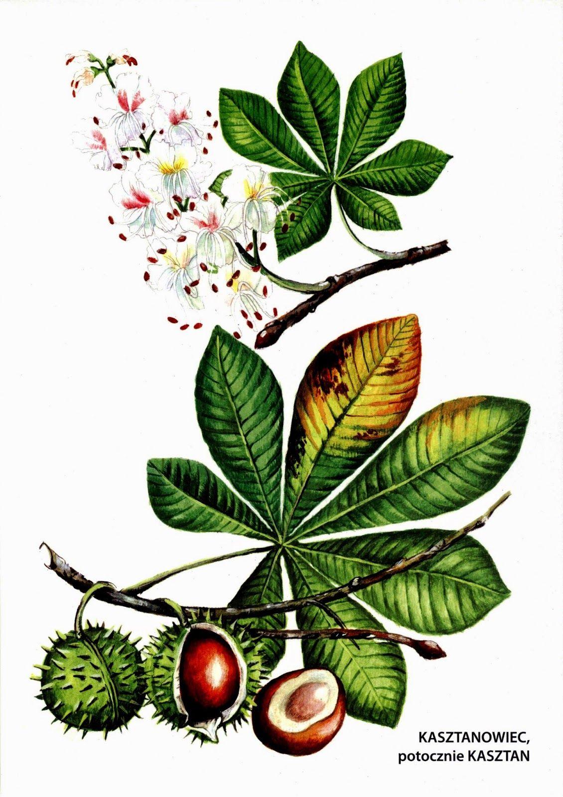 Jesienne Pomoce Dydaktyczne Botanical Art Botanical Sketchbook Botanical Illustration
