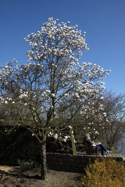 Magnolia kobus - Valse tulpenboom, beverboom