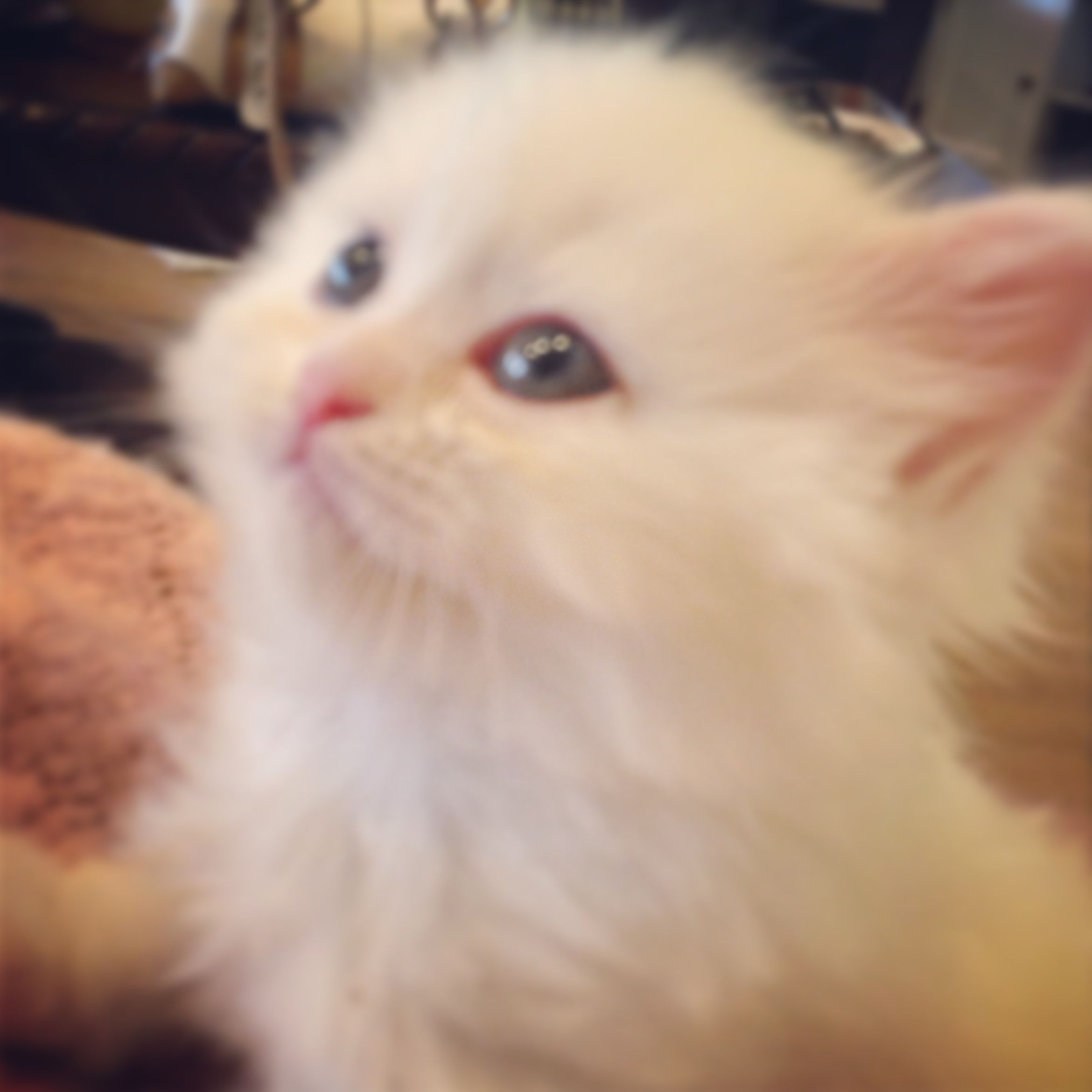 New Litter We Have 3 White Doll Face Persian Kittens Just Born They Will Have Blue Or Green Persian Kittens Persian Kittens For Sale Teacup Persian Kittens