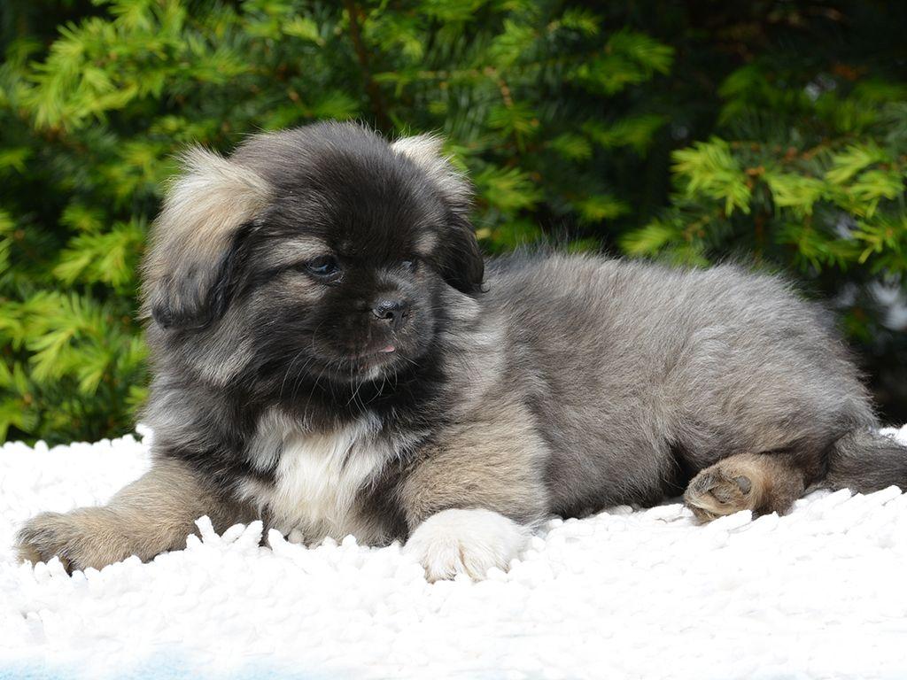 Tibetan Spaniel Spaniels for sale, Spaniel puppies
