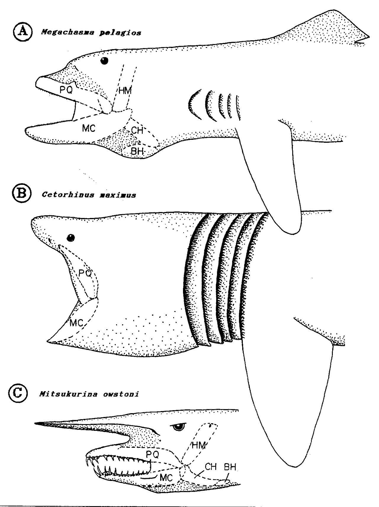 shark jaws megamouth basking and goblin sharks