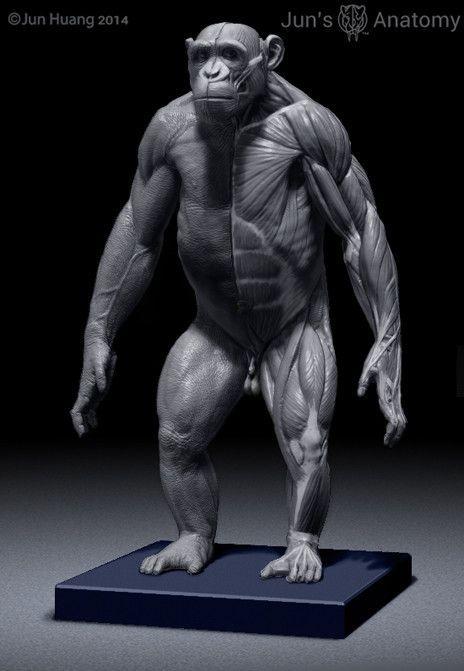 Chimpanzee Anatomy Model 1/6th scale | Anatomía animal, Anatomía y ...