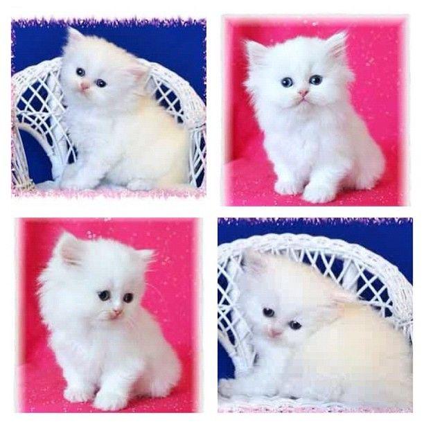 Kim S Cat Mercy Dies Teacup Persian Cats Flea Shampoo For
