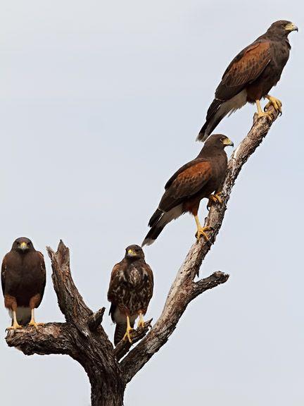 A Cast Of Hawk Harris Hawk Family Favorite Animals Harris Hawk