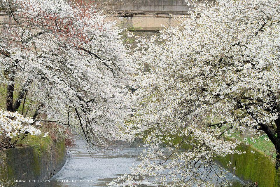 Cherry Blossom Cascade Spring Photography Blossom Cherry Blossom Festival