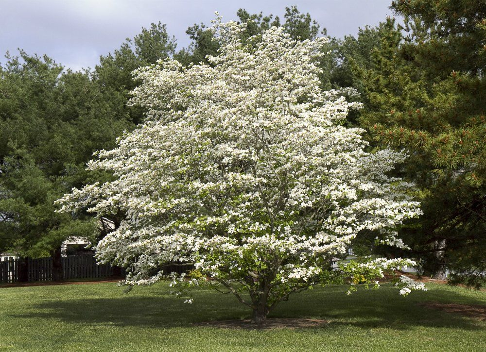 10 Of The Best Trees For Any Backyard Backyard Trees Best Shade