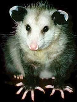 I Love Possums Repinned By All Creatures Gift Shop Me Too Australian Native Animals Baby Possum Awesome Possum