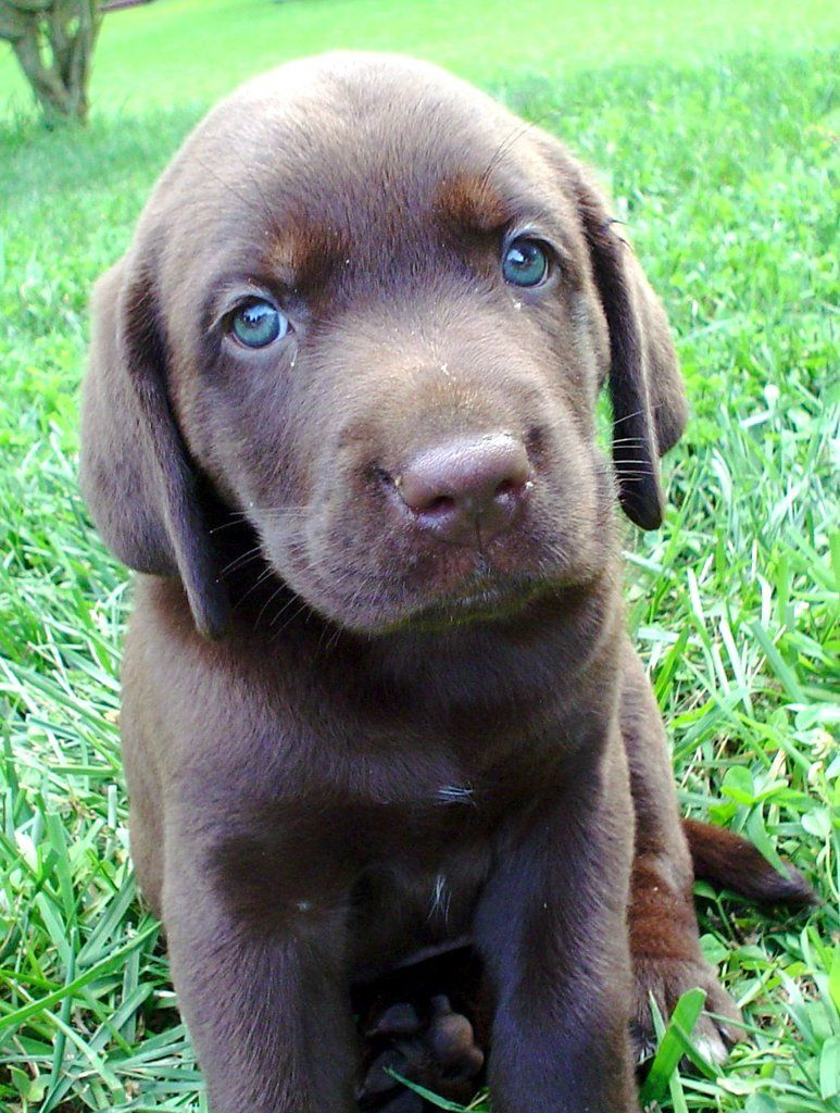 I will have a chocolate lab puppie with blue eyes. S/he ...